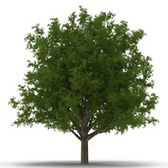 White Oak Tree Summer. Preview 8