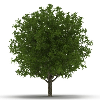White Oak Tree Summer. Render 3