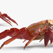 Red Rock Crab Rigged for Maya. Preview 10