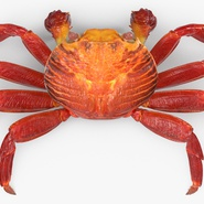 Red Rock Crab Rigged for Maya. Preview 11