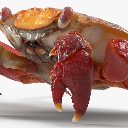 Red Rock Crab Rigged for Maya. Render 19