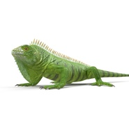 Green Iguana Rigged for Cinema 4D. Preview 17