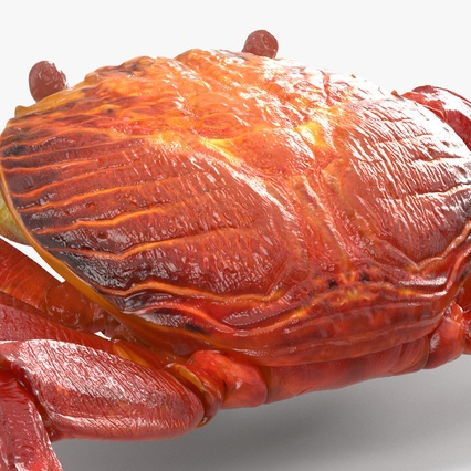 Red Rock Crab Rigged for Maya. Render 21