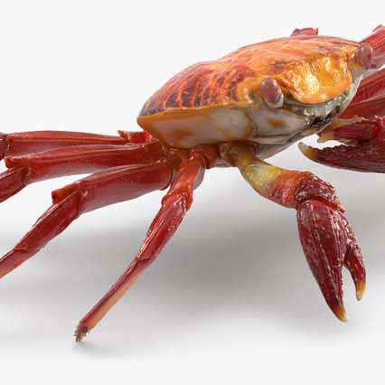 Red Rock Crab Rigged for Maya. Render 14