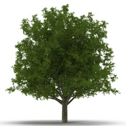 White Oak Tree Summer. Preview 6