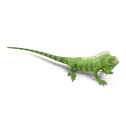 Green Iguana Rigged for Cinema 4D. Render 11