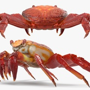 Red Rock Crab Rigged for Maya. Preview 15