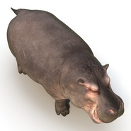 Hippopotamus Rigged for Cinema 4D. Preview 14