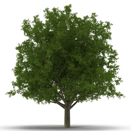 White Oak Tree Summer. Render 6