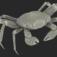 Vampire Crab Geosesarma Rigged with Fur. Preview 35