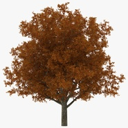 White Oak Tree Autumn