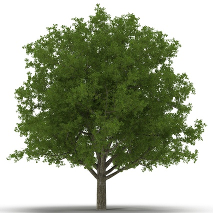 White Oak Tree Summer. Render 2