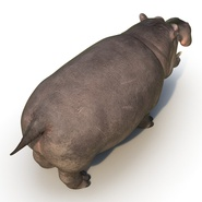 Hippopotamus Rigged for Cinema 4D. Preview 13