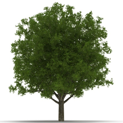 White Oak Tree Summer. Render 10