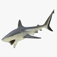 Grey Reef Shark Rigged