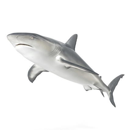 Caribbean Reef Shark. Render 10