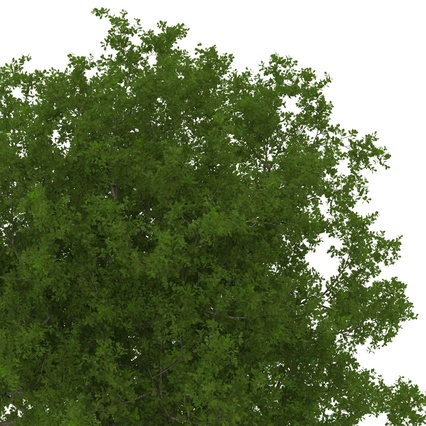 White Oak Tree Summer. Render 13