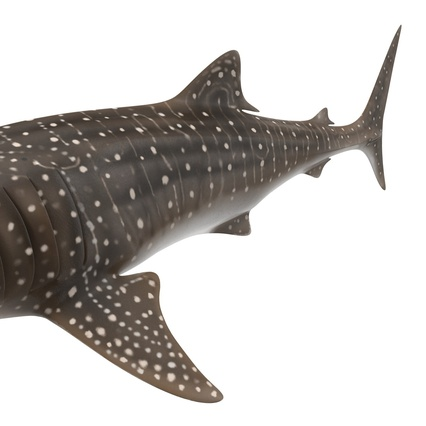 how to make a whale shark model