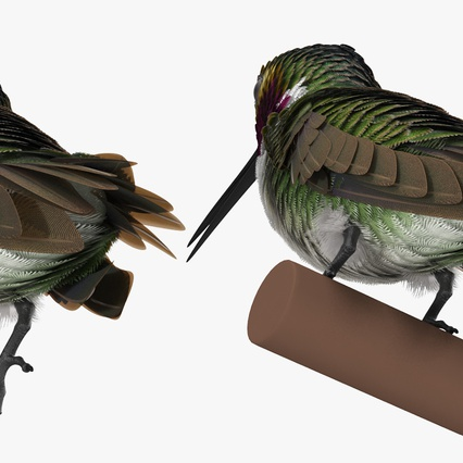 Broad Tailed Hummingbird Sitting on Branch. Render 11
