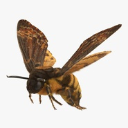 Greater Deaths Head Hawkmoth Flying Pose with Fur